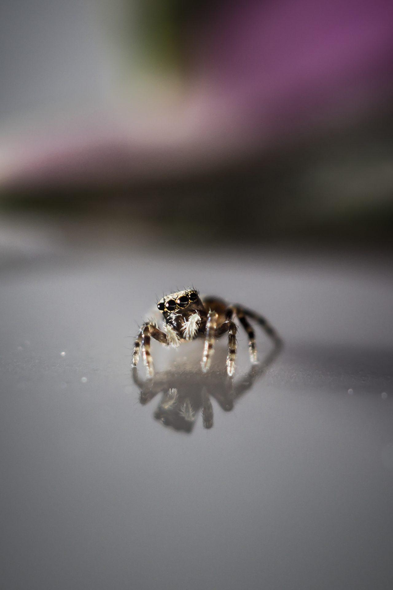 Macro fotografie - Springspinnen